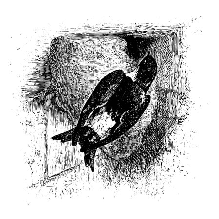 House Martin is a migratory passerine bird of the swallow family vintage line drawing or engraving illustration.