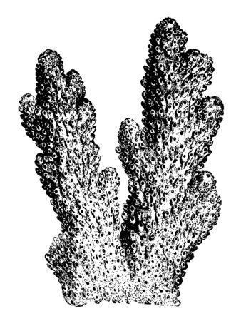 Madrepora Plantaginea is an interesting species vintage line drawing or engraving illustration.