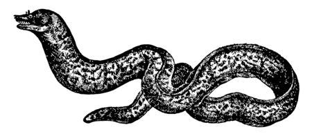 La murène est de grandes anguilles cosmopolites de la famille des Muraenidae vintage dessin ou gravure illustration.