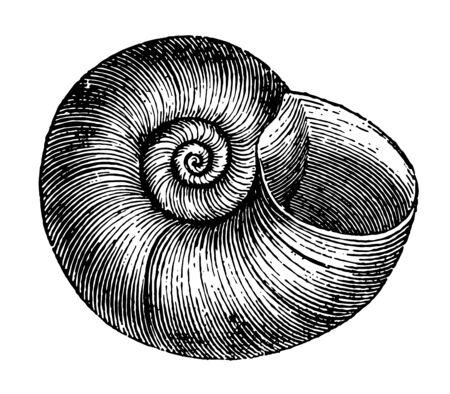 Planorbis Corneus è una luce sottile e un disco come nel disegno di linee vintage o nell'illustrazione dell'incisione. Vettoriali
