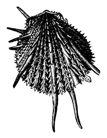 Spondylus Imperialis is a genus of bivalve molluscs and the only genus in the family Spondylidae vintage line drawing or engraving illustration.
