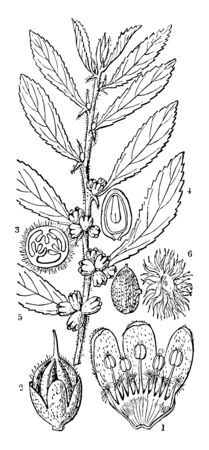 A drawing showing different parts of casearia. It includes pistils ovary seed and calyx vintage line drawing or engraving illustration. Archivio Fotografico - 133157469