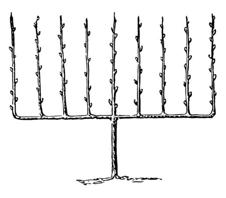 This illustration represents Fruit Tree Trained Upright as an Espalier, vintage line drawing or engraving illustration.  イラスト・ベクター素材