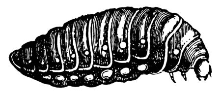 Third Larva of Sitaris Humeralis which contracts and passes through the winter vintage line drawing or engraving illustration.