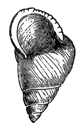 Helix Translucida which plain or biform classification of the genus Helix vintage line drawing or engraving illustration.