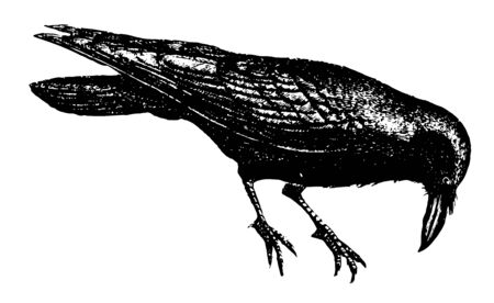 Raven is sedentary birds and never voluntarily abandon the place vintage line drawing or engraving illustration.