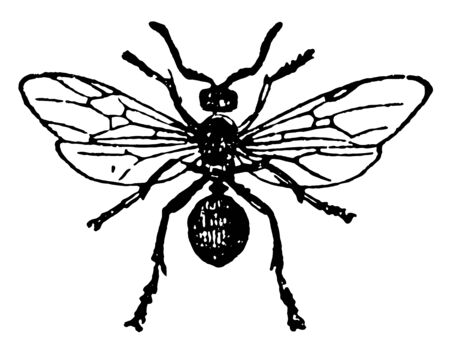 Red Wood Ant Female which are the largest in size vintage line drawing or engraving illustration.