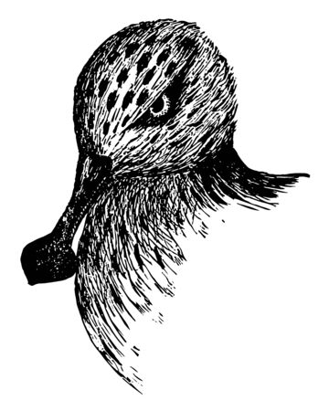 This illustration represents Spoon billed Sandpiper vintage line drawing or engraving illustration. Illustration