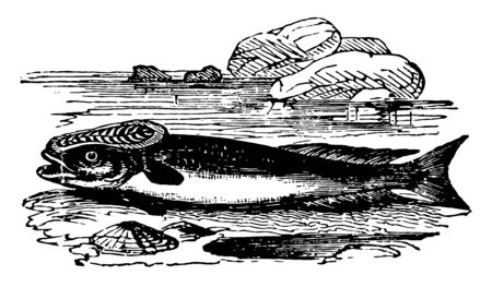 Remora Fish are a family of ray finned fish in the order Perciformes vintage line drawing or engraving illustration.
