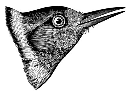 This image represents Lewis Woodpecker Head vintage line drawing or engraving illustration. Ilustracja