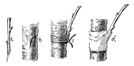 This illustration represents how to Graft Mulberry vintage line drawing or engraving illustration. Ilustracja