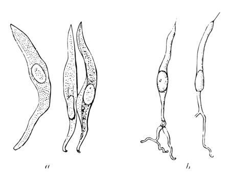 Taste bud Cells of a Rabbit which is Isolated cells from taste bud of a rabbit vintage line drawing or engraving illustration.