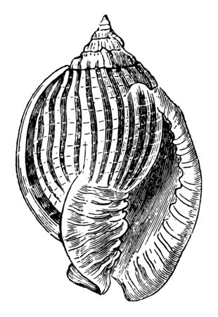 Cassis Zebra is oval convex and the spire is not of considerable height vintage line drawing or engraving illustration.