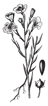A picture is showing Flax, it also known as Linseed. It belongs to Linaceae family. This is an ornamental plant. This is a small flax plant and also shows a seed and a bud of this plant, vintage line drawing or engraving illustration. Ilustracja