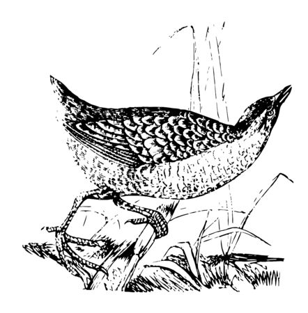 Rail is a large cosmopolitan family of small to medium sized ground living bird vintage line drawing or engraving illustration.
