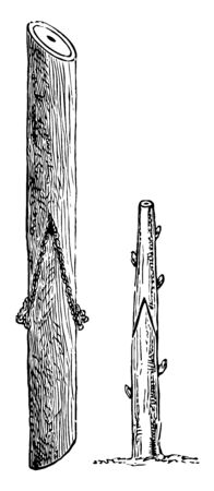 This illustration represents Saddle Grafting where the stock and scion must be nearly equal in thickness vintage line drawing or engraving illustration.