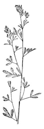 Alfalfa is a perennial flowering plant in the pulse family. It is used for grazing, hay, and silage, as well as a green manure and cover crop, vintage line drawing or engraving illustration. 일러스트