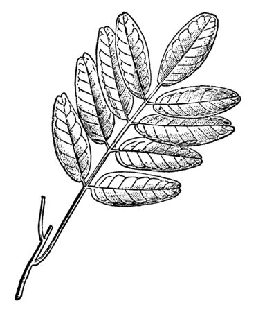 This picture represents branch of Pilocarpus is member of Rutaceae family mostly found in Neotropics of South America, vintage line drawing or engraving illustration. 写真素材 - 132822524