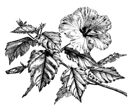 Picture shows the Hibiscus Rosa-Sinensis plant. Branch in this image shows the flowering part and leafs on each petiole. Flower and leafs are large in size, vintage line drawing or engraving illustration.