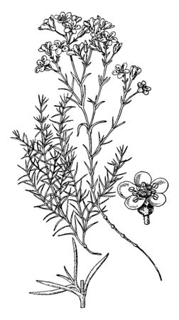 This Picture shows Arenaria Grandiflora plant. The flowers are White, large and grow solitary or in twos or threes. Petals are white and Green Pollen grains are at middle part, vintage line drawing or engraving illustration.