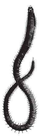 Leodice antennata has the organs of locomotion attached to each segment, vintage line drawing or engraving illustration. Ilustração