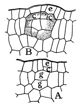 A picture showing Formation of an internal, globular, lysigen gland of Dictamnus fraxinella leaf, vintage line drawing or engraving illustration.