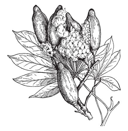 A picture of the leaves and fruits of the silk cotton tree, Ceiba Casearia. The cotton like material inside the pods are used in beds and pillows, vintage line drawing or engraving illustration. Illustration