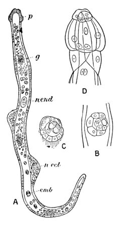 Dicyemennea Eledones is a Worm found in Kidney of Octopus, vintage line drawing or engraving illustration.