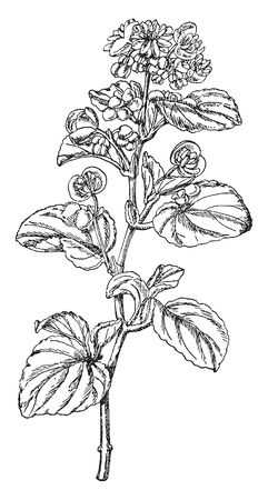 The plant leaves and flower alternate growing on stem. The individual flowers are looks small, vintage line drawing or engraving illustration.