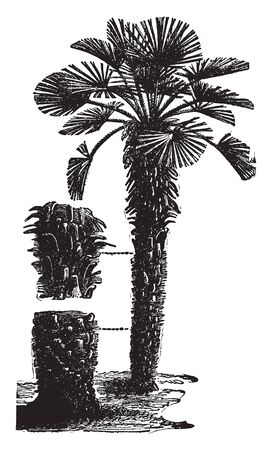A picture of Chamaerops Humilis Palm tree. It is a bushy evergreen palm that produces a medium-sized shrub, often without stem or multiple stem, vintage line drawing or engraving illustration.
