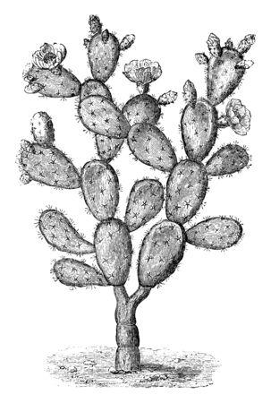 Ein Bild, das den Zweig von Optunia Tuna zeigt, der eine Sorte von Kaktusfeigen ist. Die Blumen sind rötlich-orange und blühen im Juli, Vintage-Linien-Zeichnung oder Gravurillustration.