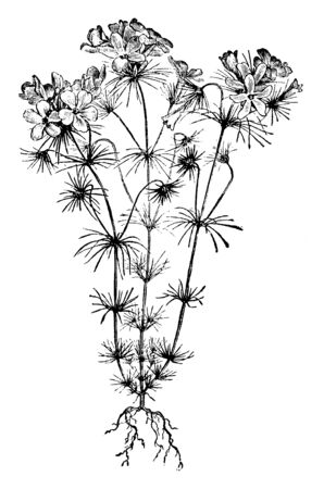 This is a picture of Gilia Androsacea flower; its flowers are lilac, pink and almost white color. The height of these plants is between 9 and 12 inches, vintage line drawing or engraving illustration.