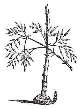 Bamboo is a genus of grasses, which most of the species attain a great size, some of them 20 or 30 feet, some 70 or 100 feet in height. It is found in tropical, vintage line drawing or engraving illustration. Illusztráció