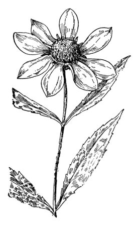 In this sketch Bidens laevis is a species of flowering plant in the Compositae family known by the common names larger bur-marigold and smooth beggarticks, vintage line drawing or engraving illustration.