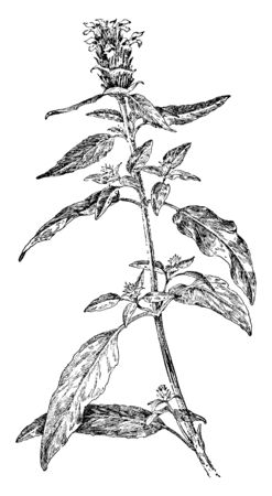 Self-heal, a member of the mint family, looks much like a mint but lacks a minty or other aromatic fragrance mostly found in Eurasia, vintage line drawing or engraving illustration.