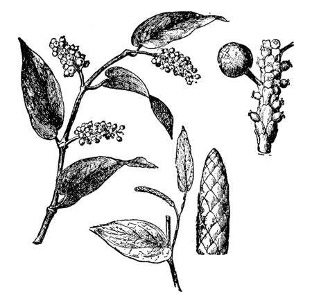 Branch of Piper Cubeba Plant fruit. The stalked berries are a little bit larger than pepper corns, has a furrowed surface. Most berries are hollow, vintage line drawing or engraving illustration.