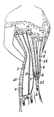 Costume Corset is worn to support and shape the waistline vintage line drawing or engraving illustration.