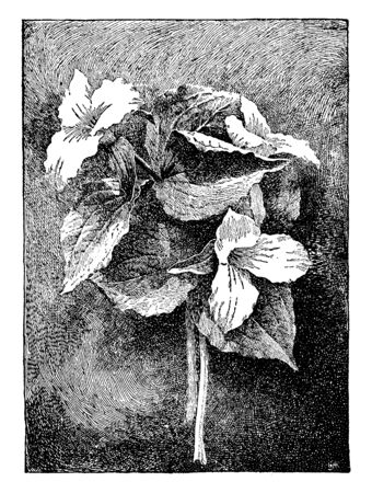 White trilliums are one of Americas most beloved spring wildflowers. Their large, 3-petals White blossoms open bright, Leaves can be oval meet in a point on the stem, vintage line drawing or engraving illustration.