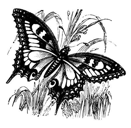 Swallowtail Butterfly is a large colorful butterfly with at least 550 species vintage line drawing or engraving illustration. Çizim