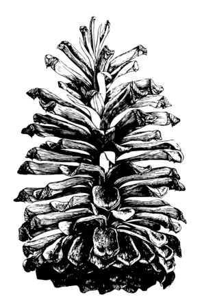 Long pine contains a type of pine cone which is found large open and commonly found in the South Atlantic and Gulf states vintage line drawing or engraving illustration. 写真素材 - 132818422