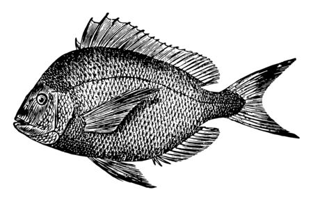 Scup is a fish common in the Atlantic Ocean vintage line drawing or engraving illustration. Иллюстрация