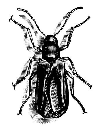 Sitaris Humeralis lays at the entrance of the nest of a solitary bee from 2000 to 3000 small vintage line drawing or engraving illustration. Çizim