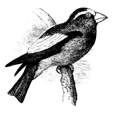 Evening Grosbeak in which lining of wings black and yellow vintage line drawing or engraving illustration.