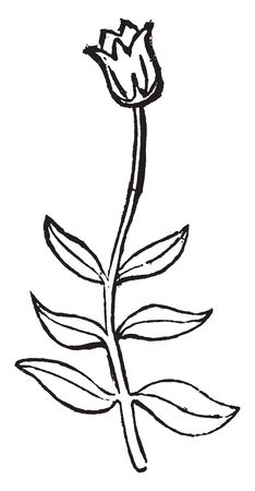 This is a small plant having opposite leaves at same level on a stalk and one flower at top, vintage line drawing or engraving illustration.