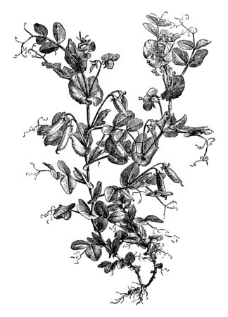 This is the Pea climber-plant. It has flower, buds, Pea-beans and rounded thin fiber threads are present. Leaves are small, plain edge. It also has roots at bottom, vintage line drawing or engraving illustration. 向量圖像