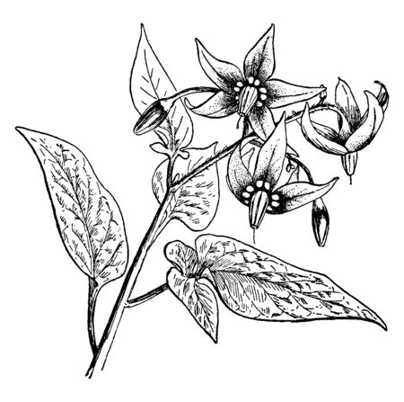 The common name of Solanum Dulcamara is nightshade or bittersweet, also known as blue bindweed, Amara Dulcis, climbing nightshade, fellenwort, felonwood, poisonberry, poisonflower, and scarlet berry, vintage line drawing or engraving illustration.