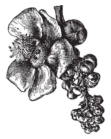 It is a South American tree bearing a large glucose fruit with a hard woody rind, vintage line drawing or engraving illustration.