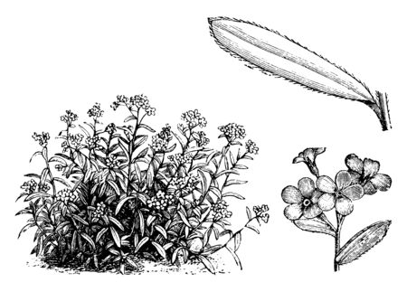 This plant is also named as the alpine forget-me-not and it is found in rocky places high in the mountains, vintage line drawing or engraving illustration. Banco de Imagens - 132823192