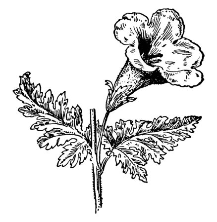 Foxglove flower like a trumpet shaped nearly five petals. Foxglove flower is fused into a tube, vintage line drawing or engraving illustration.