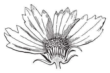 A picture is showing Coreopsis Flower. Coreopsis is belongs to Asteraceae family. This is the cut section of Coreopsis Flower, vintage line drawing or engraving illustration.